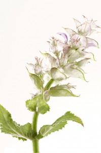 Organic Clary Sage