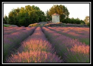 Lavender Fields and Pump House