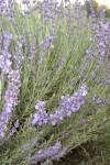 Organic Lavender -angustifolia